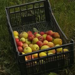 Apples in Horsmonden